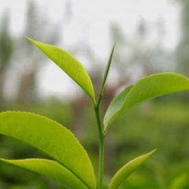 Čudež narave – Avstralski čajevec
